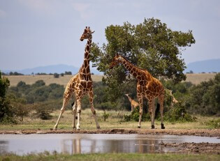 Safari in Kenia - Giraffe