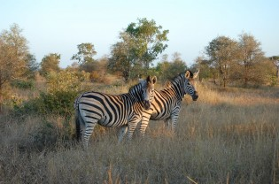 Kruger National Park zebras South Africa Wildlife