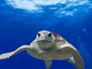 Boa Vista schildpad