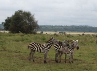 Zebra's in Nairobi Nationaal Park, Kenia