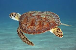 Excursie naar Klein Curaçao - Schildpad