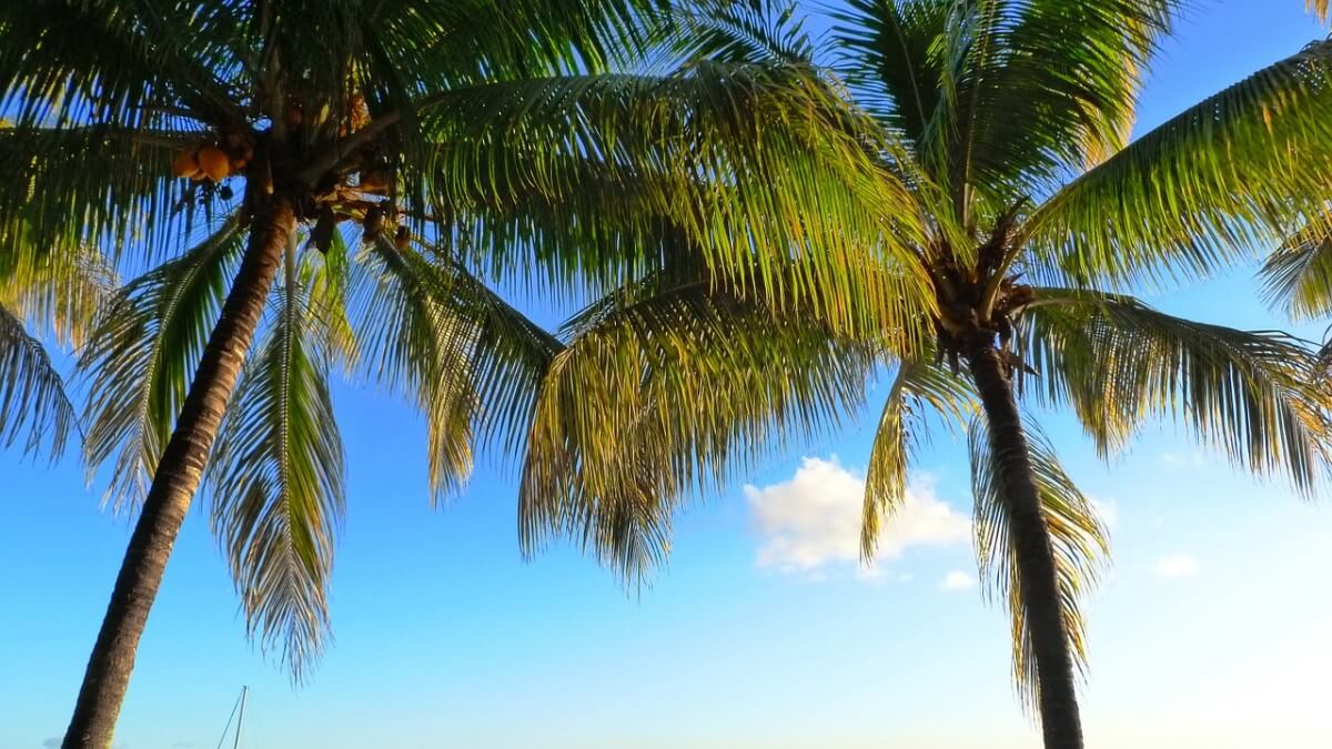 Vakantie op Mauritius - Palmbomen