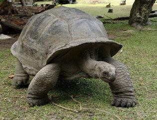 Praslin, reuzenschildpad