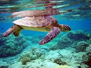 Vakantie op Vieques, groene zeeschildpad, Puerto Rico