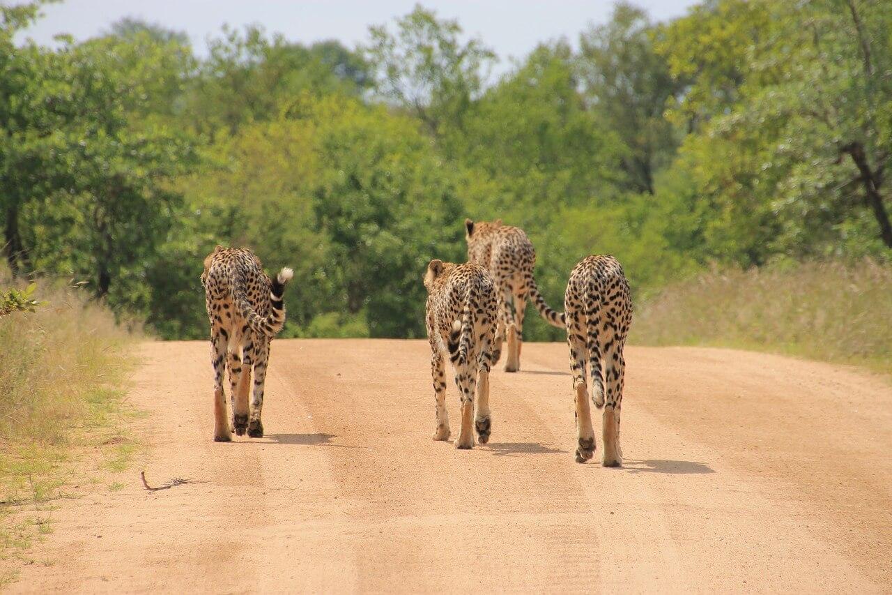 kruger national park zuid afrika wiki vakantieer zijn vele manieren om het krugerpark te ontdekken je kunt bijvoorbeeld meedoen aan een backpack traject het \u0027lonely bull back packing traject\u0027
