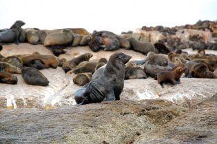 Zeehonden op Robbeneiland